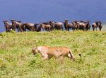 Wildebeest on the menu, Ngorongoro Crater, Tanzania