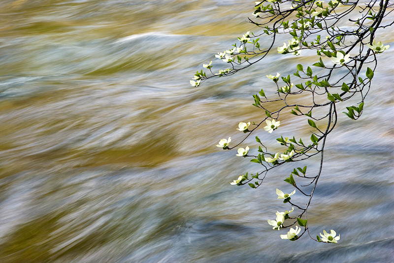 Dogwood Along Merced River, Yosemite